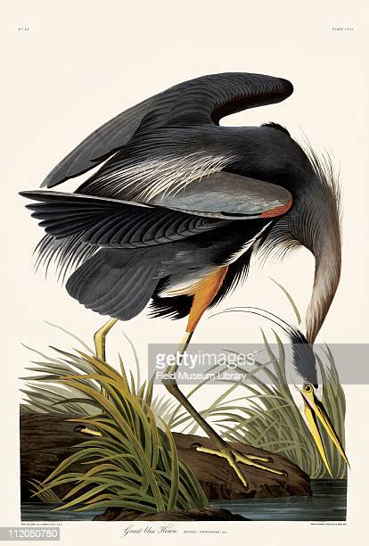 Great Blue Heron Plate 211 in John James Audubon's Birds of America late 1830s