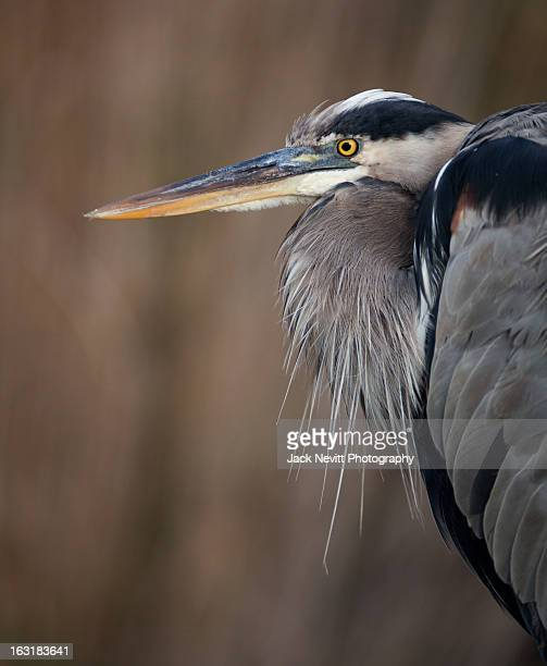 great blue heron profile close up head - anhinga_trail stock-fotos und bilder