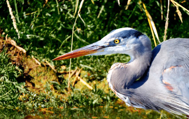 Great Blue Heron Profile Headshot