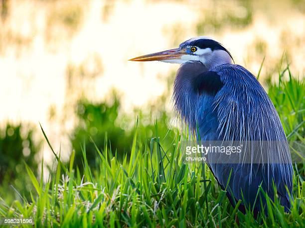 Great blue heron (Ardea herodias) sitting in a lake