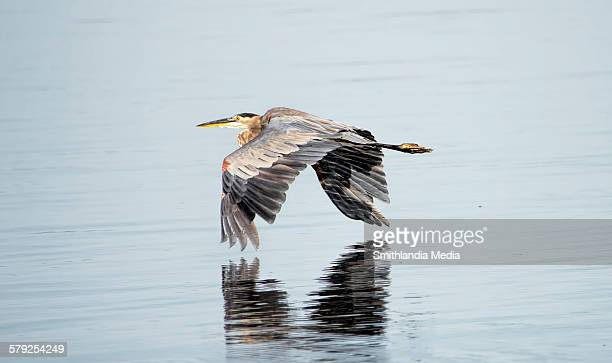 Great Blue Heron Skimming Along The Water