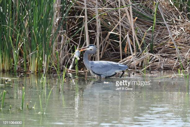 great blue heron spearing a tilapia fish - south padre island stock pictures, royalty-free photos & images