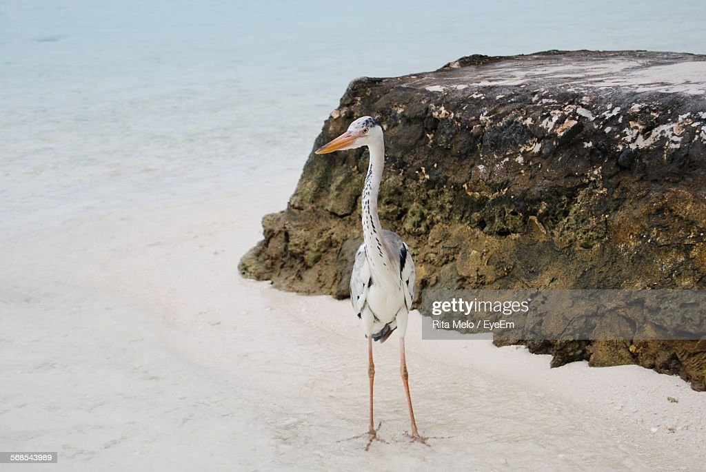 Great Blue Heron Standing At Beach By Rock : Stock Photo