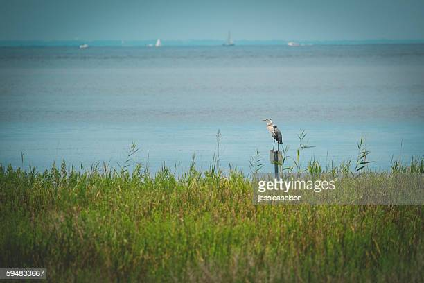 great blue heron standing by sea (ardea herodias), chesapeake bay, maryland, usa - chesapeake bay stock pictures, royalty-free photos & images