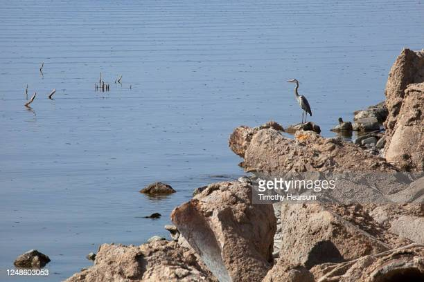 great blue heron standing on boulders along the shore of the salton sea - timothy hearsum stock pictures, royalty-free photos & images
