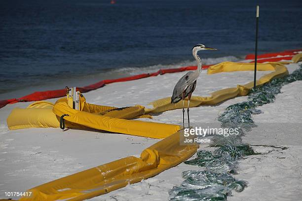A great blue heron stands on oil containment booms that are being used to protect the beach area from the Deepwater Horizon oil spill in the Gulf of...