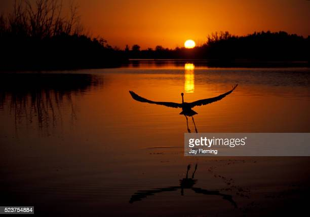 great blue heron sunrise - chesapeake bay stock pictures, royalty-free photos & images