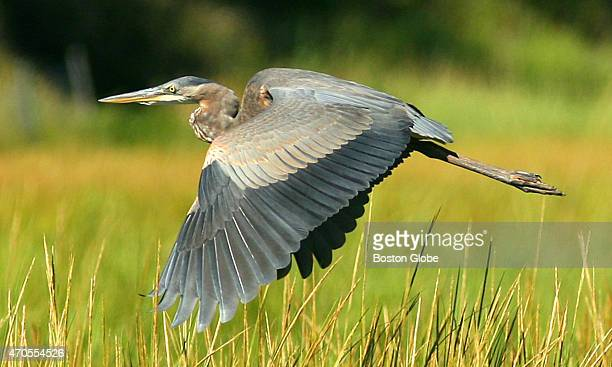 A great blue heron takes flight from a marsh area off Briggs Harbor in the Minot section of Scituate Mass
