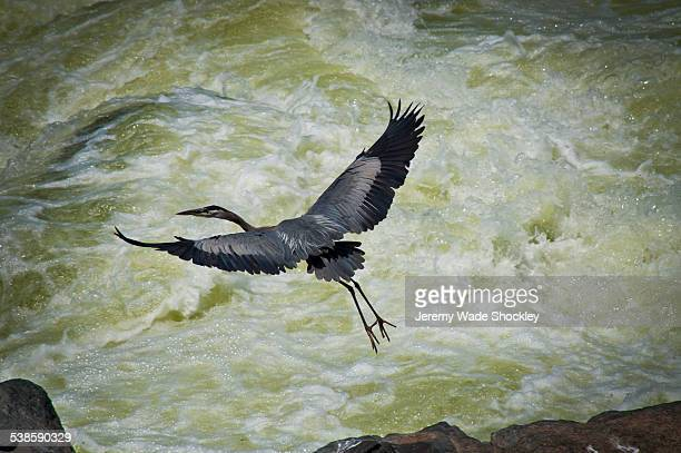 a great blue heron takes flight over the great falls of the potomac river - fairfax county virginia stock photos and pictures