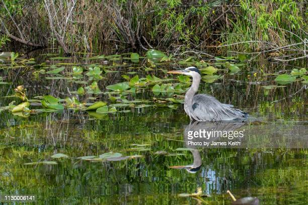 a great blue heron wades in the shallow waters of a wetland in the florida everglades - anhinga_trail foto e immagini stock