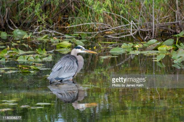 a great blue heron wades into the shallows and patiently waits for its prey to come within striking distance. - anhinga_trail stock pictures, royalty-free photos & images
