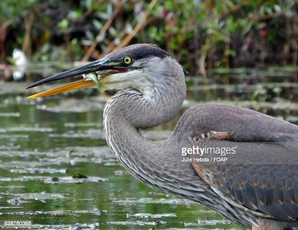 A great blue heron with a freshly caught fish