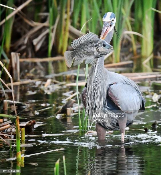 great blue heron with a tilapia fish - south padre island stock pictures, royalty-free photos & images