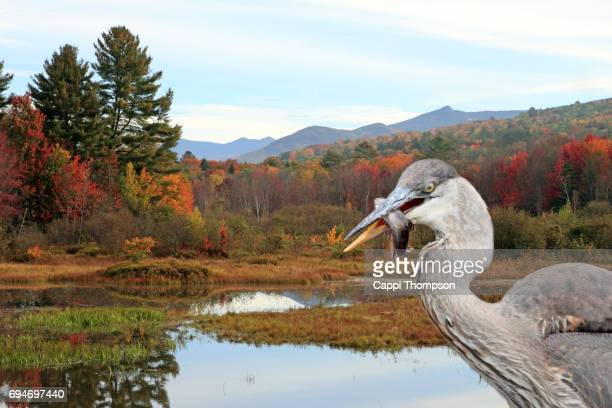 great blue heron with fish during fall - great pond (new hampshire) stock photos and pictures