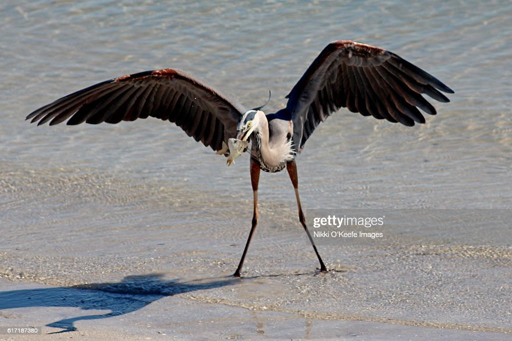 Great Blue Heron with Fish : Stock Photo