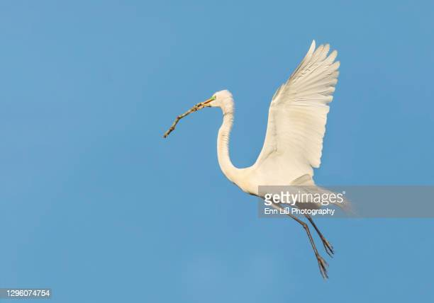 great blue heron with nesting material - rookery building stock pictures, royalty-free photos & images