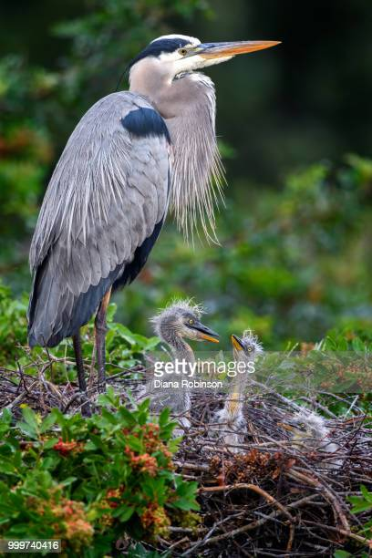 great blue heron (ardea herodias) with two week old chicks at ve - day old chicks stock photos and pictures