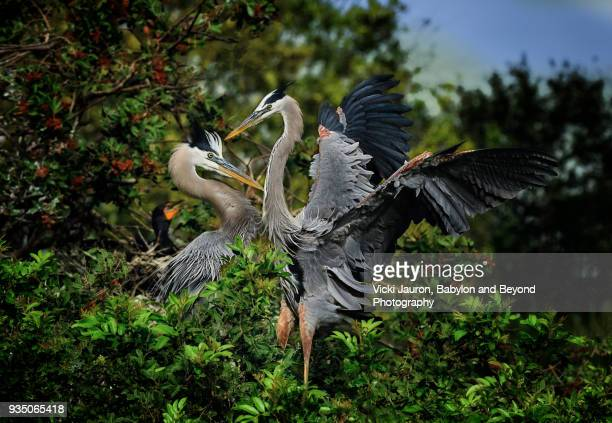 Great Blue Herons in Mating Dance at Venice, Florida
