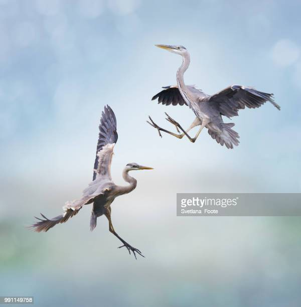great blue herons - svetlana stock photos and pictures