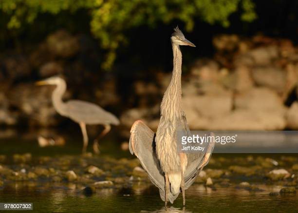 great blue herons (ardea herodias) standing in river, wisconsin, usa - iowa_county,_wisconsin stock pictures, royalty-free photos & images