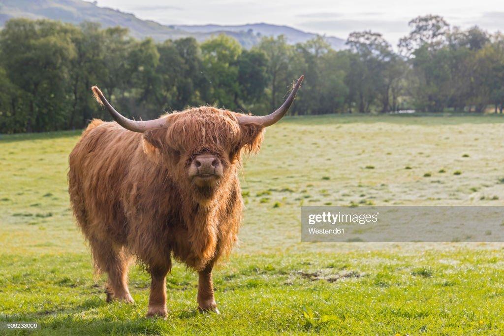 Great Britain, Scotland, Scottish Highlands, Highland Cattle : Stock Photo