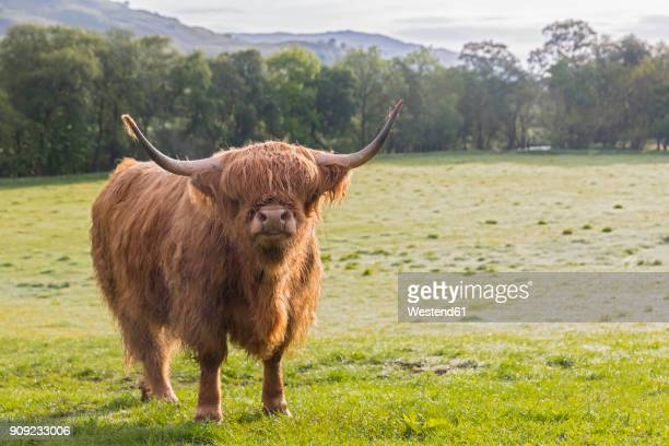 great britain, scotland, scottish highlands, highland cattle - highland cattle stock photos and pictures