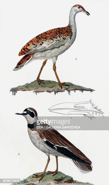 1 Great bustard 2 Kentish plover 3 Eurasian stone curlew drawing by Pretre engraving by Chiussone from Dizionario delle scienze naturali published by...