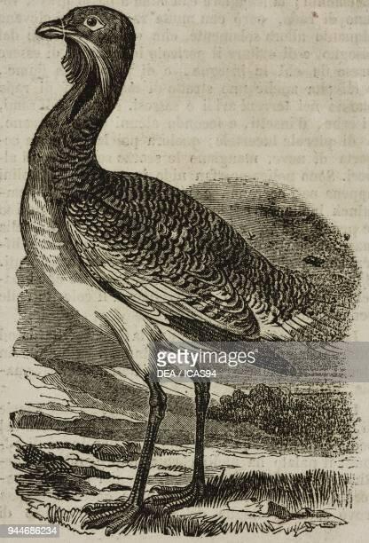 Great bustard male illustration from Teatro universale Raccolta enciclopedica e scenografica No 207 June 23 1838