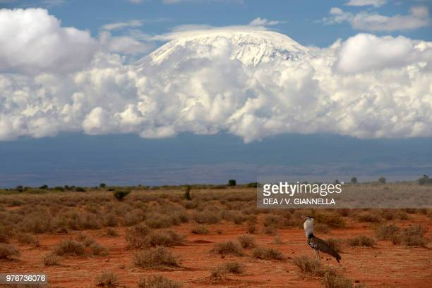 Great bustard on the savannah with Mount Kilimanjaro in the background Amboseli national park Kenya