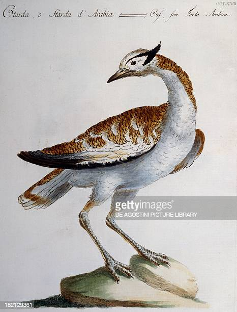 Great Bustard or Arabian Bustard colour etching by Lorenzo Lorenzi and Violante Vanni from Natural History of Birds by Saverio Manetti Florence...
