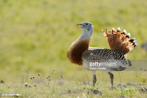 Great Bustard -Otis tarda-, male, roaming the steppe of the Extremadura, Spain, Europe