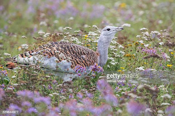 Great Bustard -Otis tarda- on a field with wild flowers, Hungary