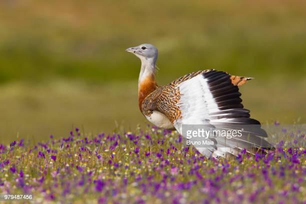 Great bustard (Otis tarda) spreading wings in field of wildflowers