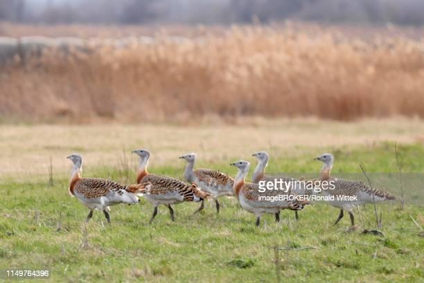 Great bustards (Otis tarda) in a meadow, Andau, Burgenland, Austria