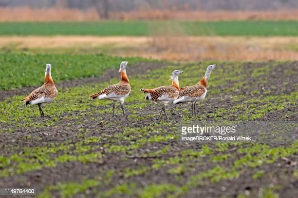Great bustards (Otis tarda) on a field, Andau, Burgenland, Austria
