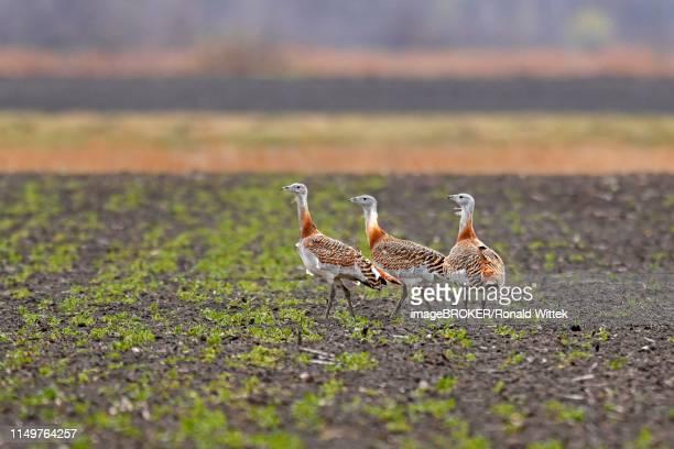 Great bustards (Otis tarda) standing on a field, Andau, Burgenland, Austria