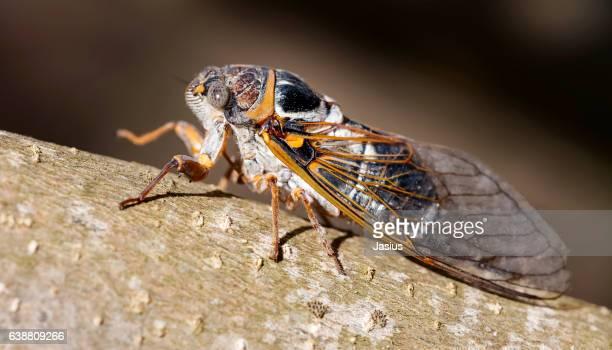 Great cicada