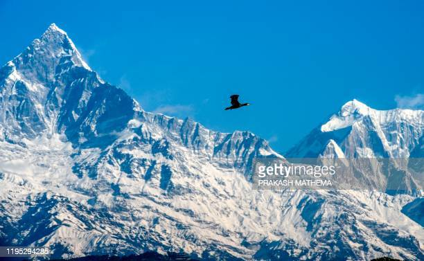 Great cormorant flies against the backdrop of the Mount Machhapuchhre and Annapurna mountain range, in Pokhara, some 200 kms west of Kathmandu on...