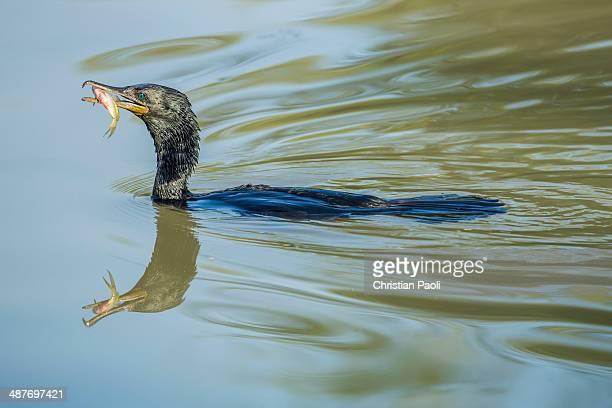 Great Cormorant -Phalacrocorax carbo-, Keoladeo National Park, Rajasthan, India