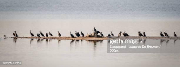 great cormorants birds on a beach,veenoordkolk,deventer,netherlands - overijssel stock pictures, royalty-free photos & images