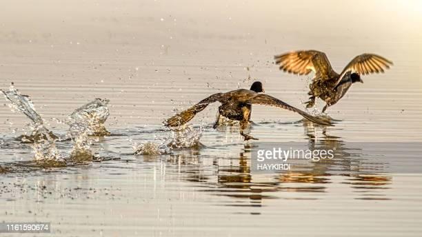 湖の上を走るグレートコーモラント(ファラクロコラックスカルボ) - 水鳥 ストックフォトと画像