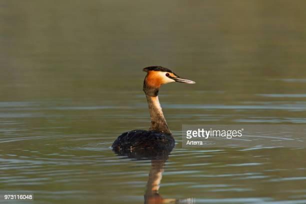 Great crested grebe in breeding plumage swimming in lake / pond in spring