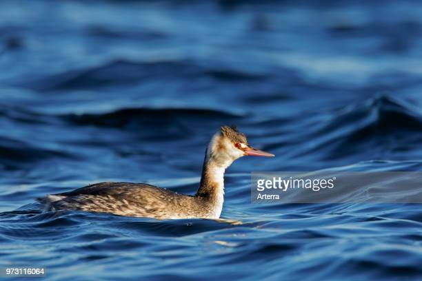 Great crested grebe in winter plumage swimming in sea