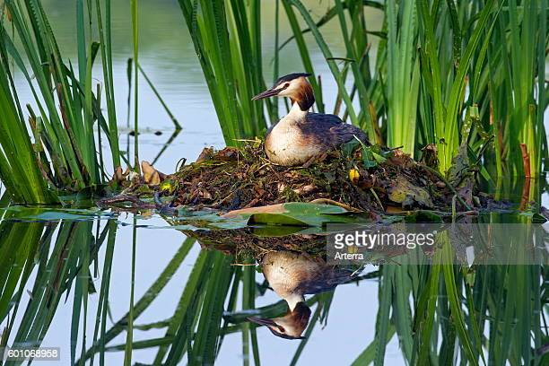 Great crested grebe sitting on nest among aquatic plants in lake