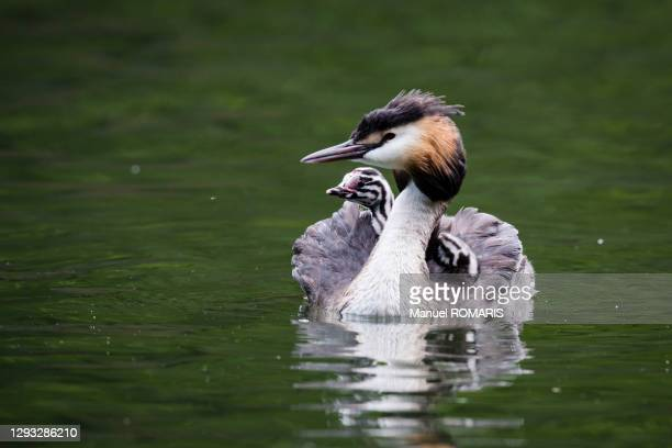 great crested grebe, sonian forest, brussels - capital region stock pictures, royalty-free photos & images