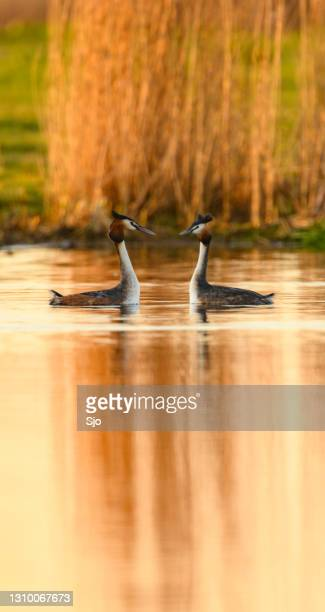 "great crested grebe water bird in a sprintime evening sunset - ""sjoerd van der wal"" or ""sjo"" stock pictures, royalty-free photos & images"