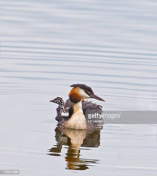 Great Crested Grebe with days-old chick on its back