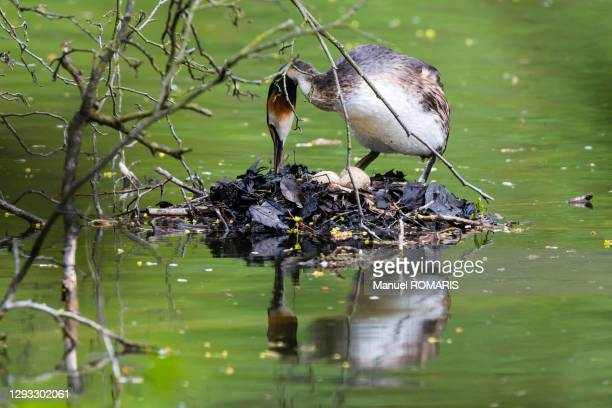 great crested grebe with eggs, sonian forest - capital region stock pictures, royalty-free photos & images
