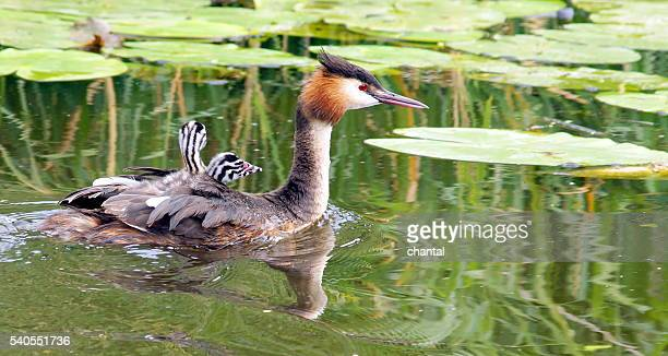 Great Crested Grebe with little one's on her back