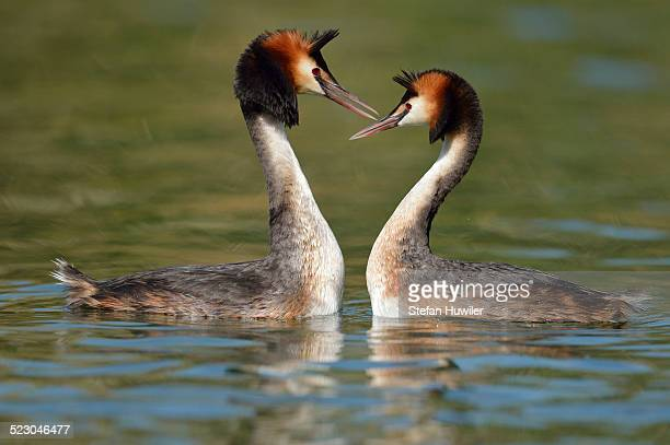 Great Crested Grebes -Podiceps cristatus-, courtship, Lake Lucerne, Canton of Lucerne, Switzerland